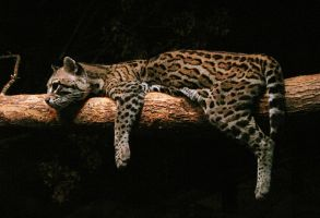 Ocelot Stock 3 by HOTNStock