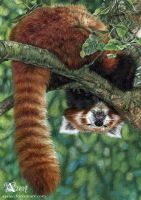 Sleepy red panda by Azany