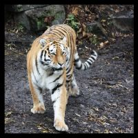 Amur Tiger by Globaludodesign