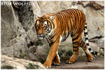 Tigress by VitaniFox85