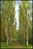 Path of Silver Birch by Forestina-Fotos