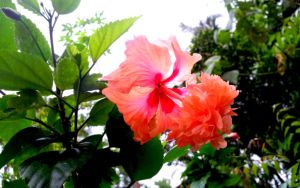 chembarathi Flower by ranjithap
