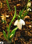 Galanthus by francy93