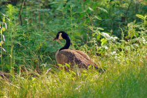 Geese Family 2015 01 by EJordanPhoto
