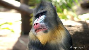 Mandrill by Korpzgryndr