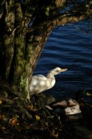 Reflections On A Duck. by Spiker219