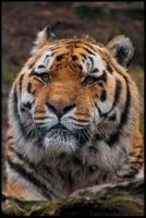 Tiger Portrait by amrodel