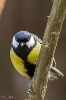 Great Tit 2 by ErikEK