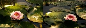 One water lily and two angles by unusualPhoto