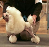 Poodle1 by NHuval-stock