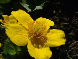 .stock: large yellow flower. by guavon-stock