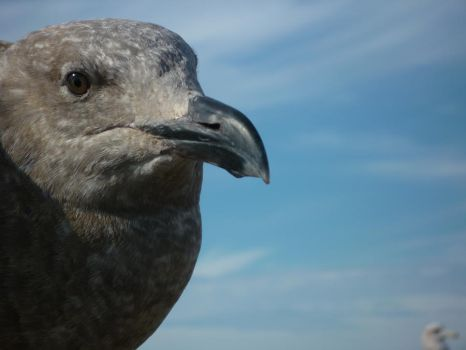 Young Seagull by emsmonkeys