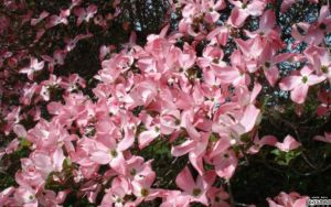 Pink Dogwood Flowers by lapinlunaire
