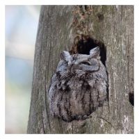 Screech Owl by AmirNasher