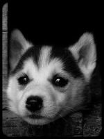 Siberian husky puppy by Pawkeye