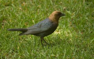 Male Brown Headed CowBird May - 2014 - 3 by toshema