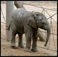 Baby Elephant by CriticalPhotography