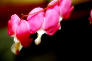 Bleeding Hearts by mskrissi87