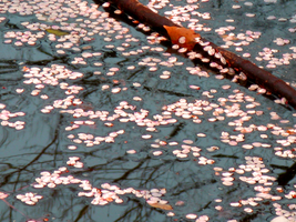 Hana Ikada Petals on River by theblindalley
