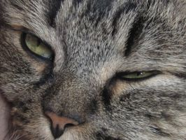 Blinx's Face. Maine coon female. by AlexandersMantids