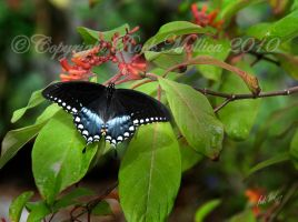 Swallowtail by SteelCowboy