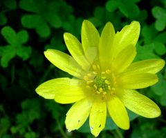 Fig Buttercup flower by floramelitensis