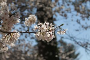 Cherry Blossoms an Hour Away From DC by Grangerbookworm