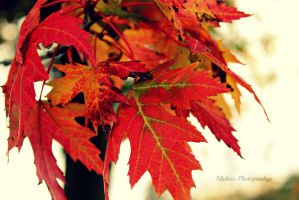Red Fall Leaves by Michies-Photographyy
