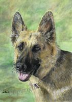 German Shepherd Dog by SRussellart