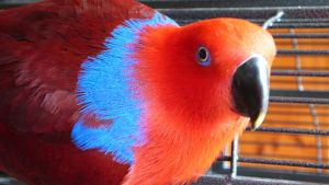 Eclectus Parrot Co Co by ianmcleod9