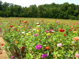 Colorfull Field of Flowers 2 by FairieGoodMother
