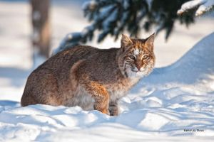 Bobcat 4 by Les-Piccolo