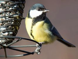 Parus major V by nordfold