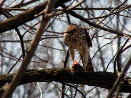 .hawk. by witchlady750