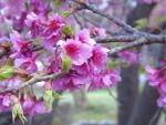 Cherry Blossom by AnnynhaSoares