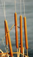 Cattails at Willow Pond by houstonryan