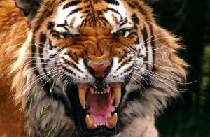 Scary tiger by tristix