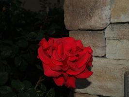 Red Rose by CatherineAllison