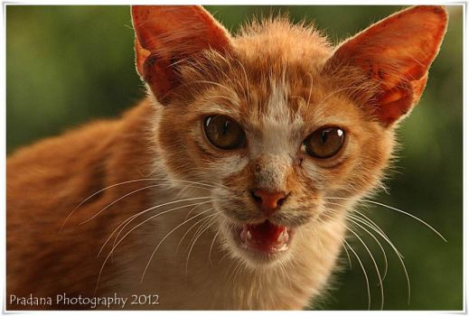 my beautiful cat 2 by rizkipradana