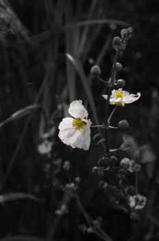 That white flower again by FoxPhotos