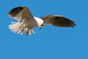 Black-shouldered Kite by strictfunctor