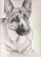 German Shepherd Charcoal by VexedLupine