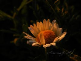 Aster at Sunset by siannajmj