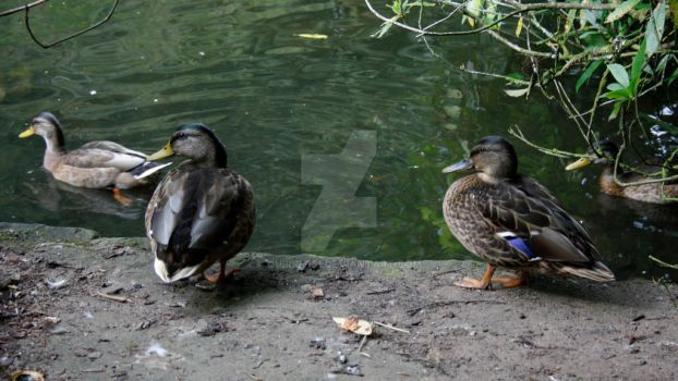 Ducks by Quirky161