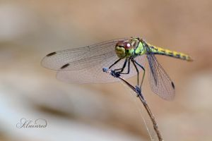 Dragonfly / Damselfly by alwinred