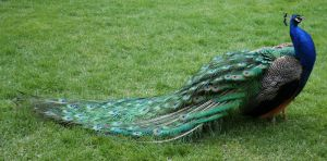 Tautphaus Zoo 82 Peacock by Falln-Stock