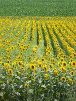 Sunflowers by DC4894