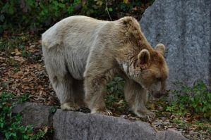 Brown bear 2 by windfuchs