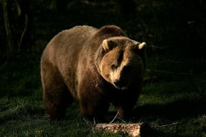 Bear by phylet