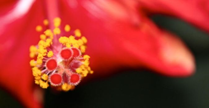 Pollens on the Hibiscus by Mya-Kat